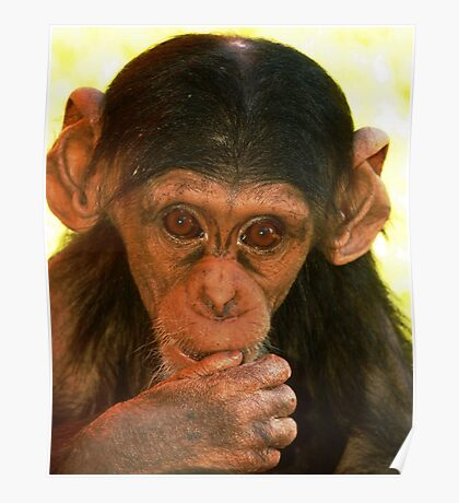 Young Chimp Poster