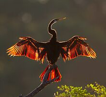 Indian Darter by Neil Bygrave (NATURELENS)