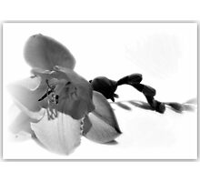 Caterpillar Freesia In Black And White. Photographic Print