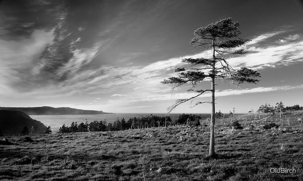 Pinus Davidus Blackus Whiteus by OldBirch