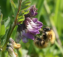 Birthday Card - Bee On A Wild Vetch  by Moonlake