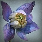 clematis by dinghysailor1