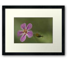 Herb Robert, Wild Flower Framed Print