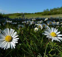 Daisy Meadow by Adrian S. Lock