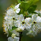 Plum flowers by Susan Littlefield