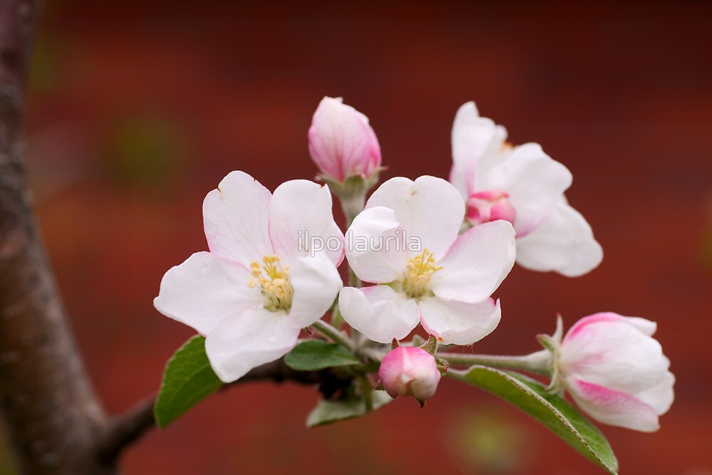 Blossom by ilpo laurila