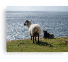 The sheep and the sea Canvas Print