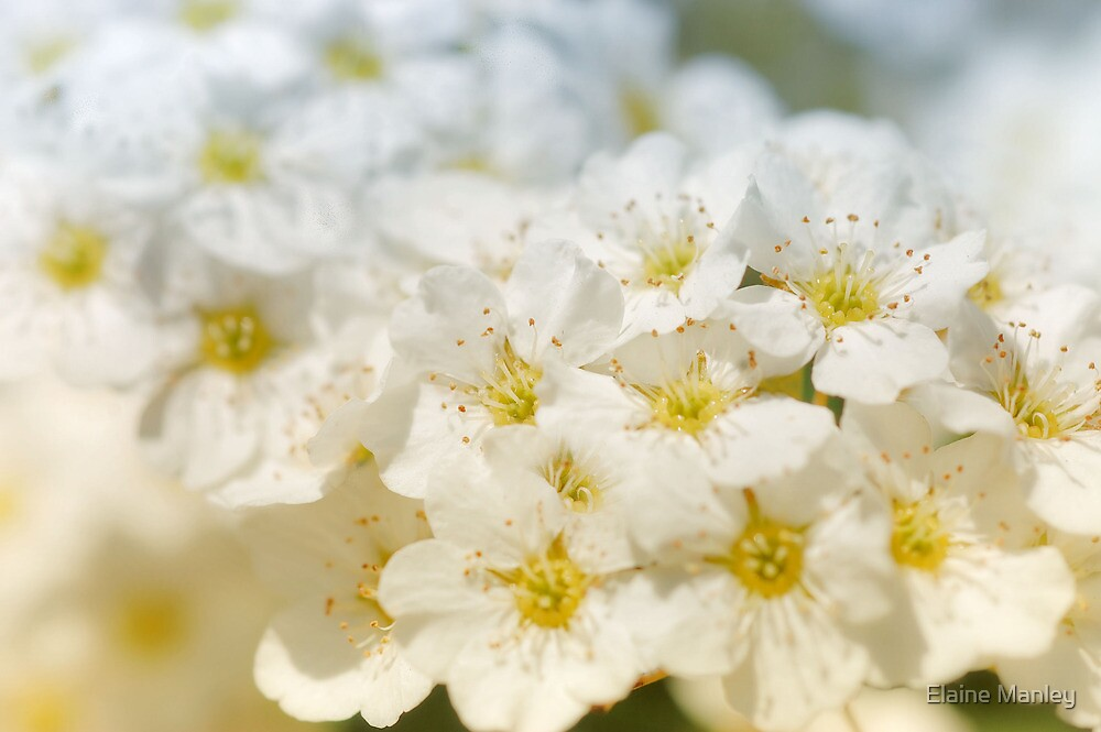 Delicate White  by Elaine  Manley