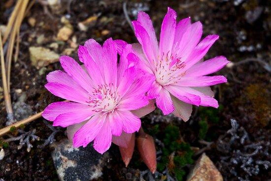 Bitterroot wildflower by amontanaview