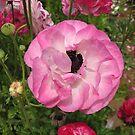 Elegant Ranunculus by Esperanza Gallego
