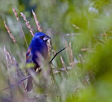 Blue Grosbeak by Michael Mill