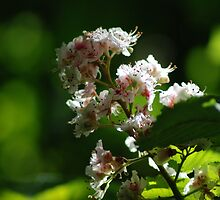 Aesculus hippocastanum image 1 by justbmac