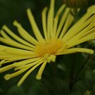 Yellow Daisy by terrebo