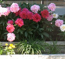 Peony Madness by MarianBendeth