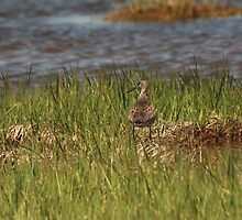 Willet at the Salt Pannes by BillCarlson