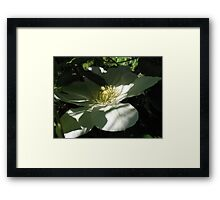 Clematis in Half Shade Framed Print