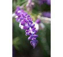 Lavender Salad Photographic Print