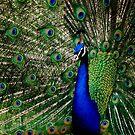 A Peacock by loiteke