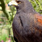 Harris's Hawk ~ Profile  by Kimberly Chadwick