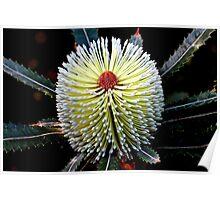 Banksia aemula  Poster