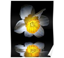 Reflection of a Daffodil Poster