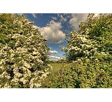Whitethorn Hedge Photographic Print