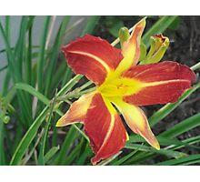 Beautiful Lily Photographic Print