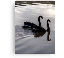 Mirroring Black Swans  Canvas Print