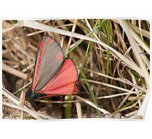 Cinnabar Moth Poster