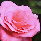 Marijke Koopman Hybrid Tea Rose by Robert Armendariz