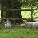 A black sheep in the family by Photos - Pauline Wherrell