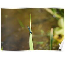 Blue Damsel Fly #2 Poster