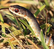 Day Hunter -- Everglades Racer by coralhead