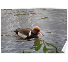 A Red Crested Pochard Poster