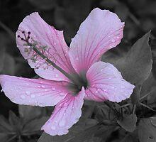 Hibiscus Flower by Stephen Horton