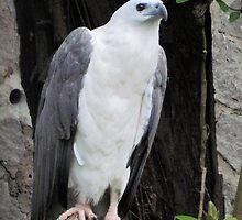 White Hawk by Nupur Nag