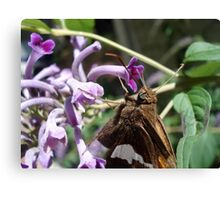 Silver Spangled Skipper in Buddleia Canvas Print