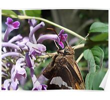 Silver Spangled Skipper in Buddleia Poster