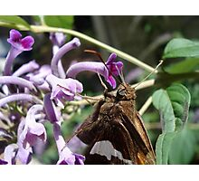 Silver Spangled Skipper in Buddleia Photographic Print