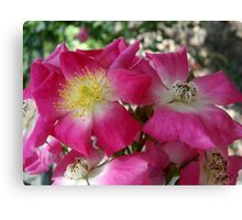 The south's Seven Sister Roses Canvas Print