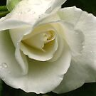 A white rose with raindrops by Maria1606