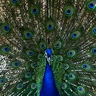 Peacock Displaying by John Morrison