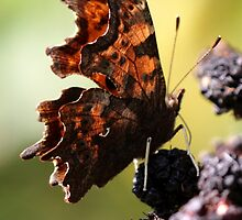 Comma Butterfly by Ian Sanders