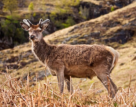 Red deer stag in Glencoe by Shaun Whiteman