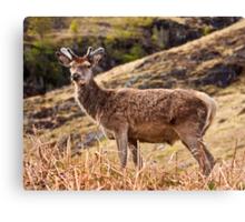 Red deer stag in Glencoe Canvas Print