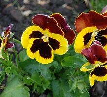 Yellow & Black Pansies by justbmac
