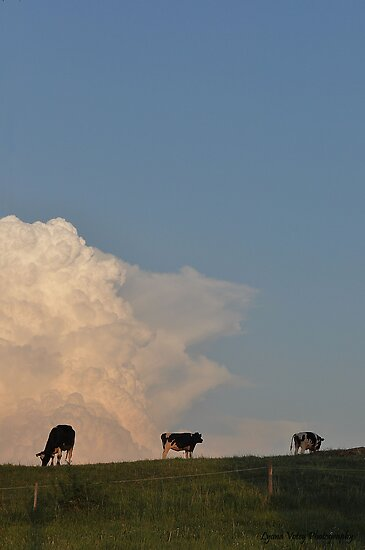 Hilltop Cows by Lyana Votey