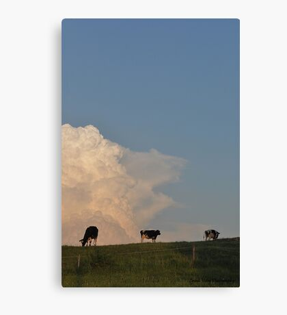 Hilltop Cows Canvas Print
