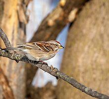 American Tree Sparrow by PhotosByHealy