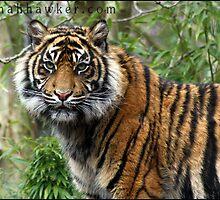 Tiger 03 by Alannah Hawker